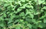 Infestation of invasive knotweed now at 'epidemic' proportions across Longford