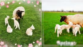 Spring has sprung: Newtowncashel ewe gives birth to four beautiful lambs