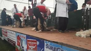 WATCH: All-Ireland Lamb Shearing Competition gets underway at #Ploughing17