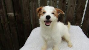 The ISPCA's Kenagh HQ is looking for homes for 28 adorable Jack Russells