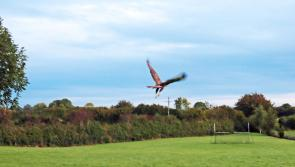 Flyaway Home: Fermoyle NS releases rescued buzzard back into wild