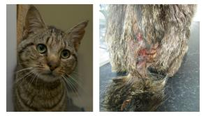 Rescued cat with severely infected wound recovering at ISPCA National Animal Centre in Longford