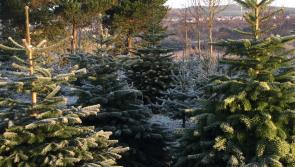 Over 600,000 Irish Christmas trees are due to be harvested before the end of the year