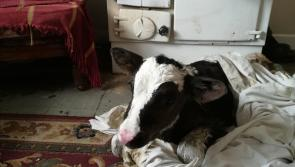 Calf arrives safe and well in the midst of bad weather in Carrickboy