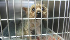 ISPCA Inspector horrified to find Yorkie dog in zipped plastic bag and left in Longford laneway
