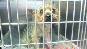 Yorkie found in zipped plastic bag in Longford laneway is doing well, says ISPCA