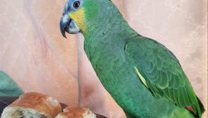 Longford woman in Facebook appeal to help return parrot to its owner