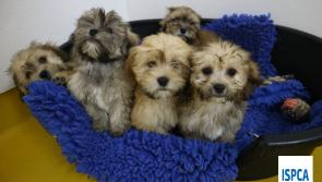 ISPCA appeal to public in Waterford for donations after removing 86 dogs from illegal breeder