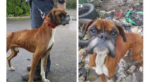 Rescued boxer dogs find an amazing home together after spell of rehabilitation in Longford