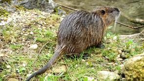 'Do not engage the rodent,' warning issued as metre-long super rat spotted in Royal Canal