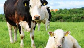 The best way to deal with late-calving cows