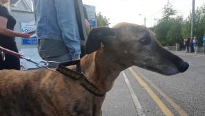 Letter to the Editor: Irish Greyhound Board shedding crocodile tears
