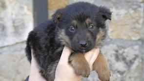 Three unwanted puppies now in ISPCA care in Longford