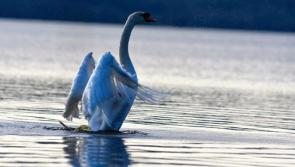 GALLERY 14 | Swanning around - Longford Love Your Home photography competition