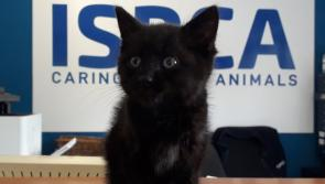 ISPCA rescues six-week-old kitten from the side of a busy Athlone road