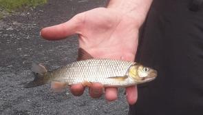 Invasive species Chub detected on River Inny in Longford