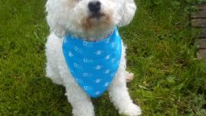 Meet Tommy the Ballymahon Bichon who is raising money for Family Carers Ireland