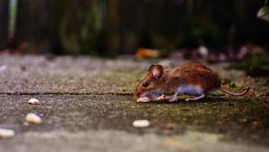ALERT: Huge increase in callouts recorded as rodents venture further afield in search of food