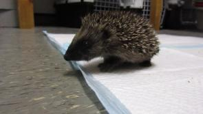 Watch: Cuteness galore with two baby hedgehogs at ISPCA's Kenagh headquarters