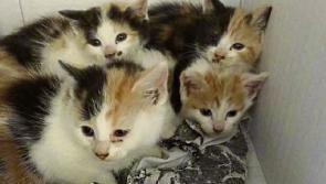 Kitten and cat crisis for Longford SPCA
