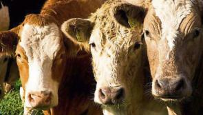Department issues advice on use of antibiotics for foot bathing cattle