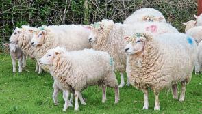 Lamb price survey finds retailers pocketing margins