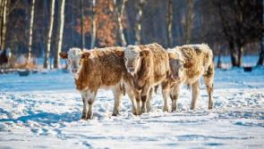 ICMSA advise Longford farmers to consider bringing in young stock as extreme cold snap forecast