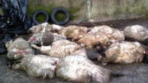 Longford IFA warns of dangers of marauding dogs inflicting  horrendous damage on sheep flocks