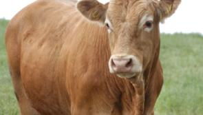 Longford Leader Farming: Cattle trade continuing to strengthen