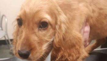 Puppies rescued from Longford property worth 'several thousand euro'