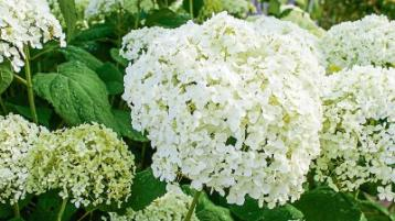 Gardening: Heavenly hydrangeas will drink you dry... but are worth it!