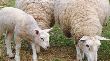 Longford Leader Farming: EID Festival will help underpin lamb prices