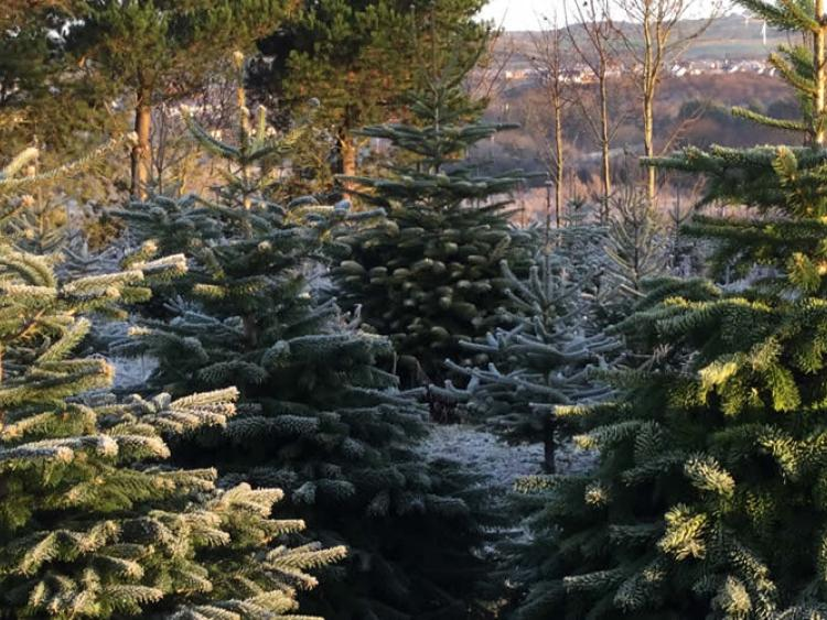 NY asks residents to buy local Christmas trees